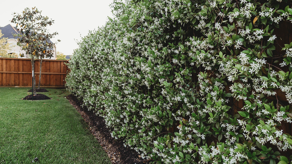 Star Jasmine Wall: All Your Questions Answered!