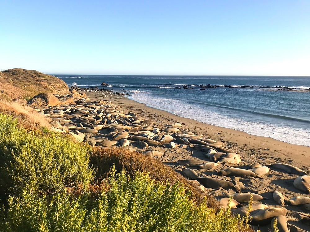 Piedras blancas, sea lions, elephant seals