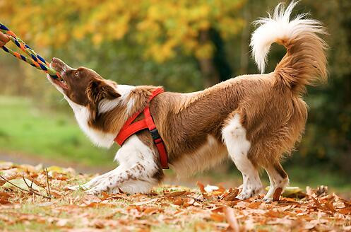 Training Your Dog to Release and Object