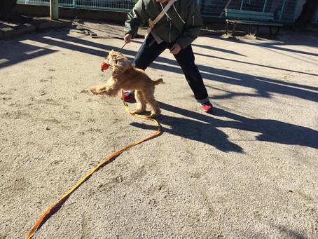 【卒業犬フィリップ】甘咬みトレーニング②(埼玉県川口市)