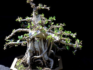 Bonsai exhibit coming to IndyZoo