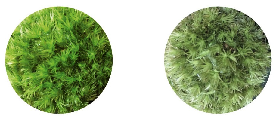 Different between dry moss and normal moss