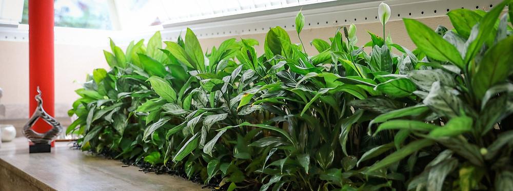 Innenbegrünung, Zimmerpflanzen, Pflanzenservice, Pflanzenpflege, Pflanzen, Spathiphyllum, , Raumklima, Schadstoffreduktion, Sauerstoff