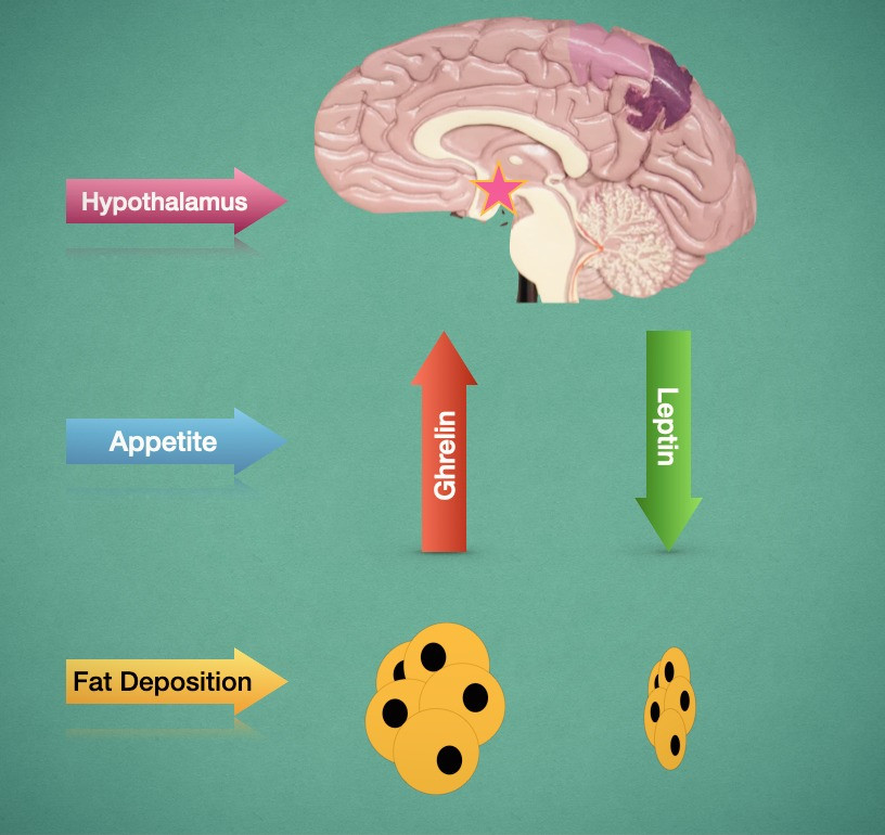 The brain is under the influence of two hormones which control the sense of hunger: Ghrelin and Leptin. Ghrelin stimulates the hypothalamus to cause hunger and drive eating. Leptin is released from the fat tissue to inhibit the orexigenic process function of ghrelin when enough calories (energy) have been consumed causing a state of satiety balance energy consumption and storage as body fat.