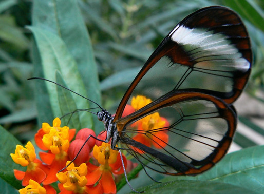 Le Greta Oto, papillon transparent