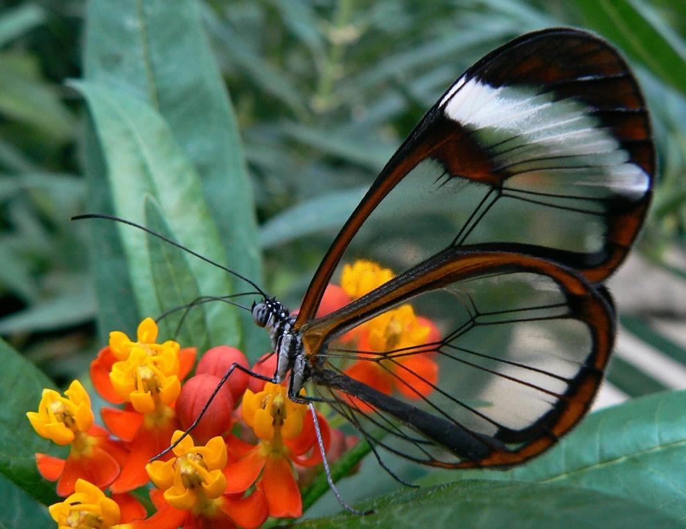 papillon translucide ailes transparentes