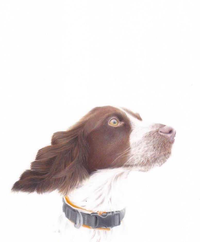 A realistic portrait of a springer spaniel gundog.