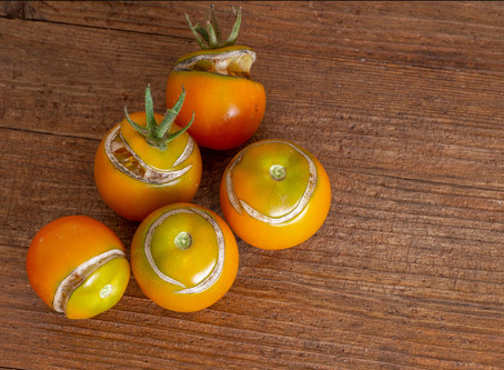 Why Do Tomatoes Split And What To Do About It