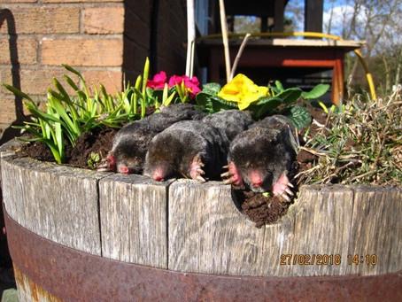 Spring Moles