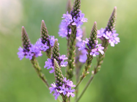 The Weight of the Warrior, and the Case for Blue Vervain