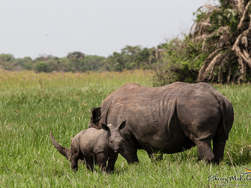 Visit Uganda's unique Ziwa Sanctuary to see rhinos up close.