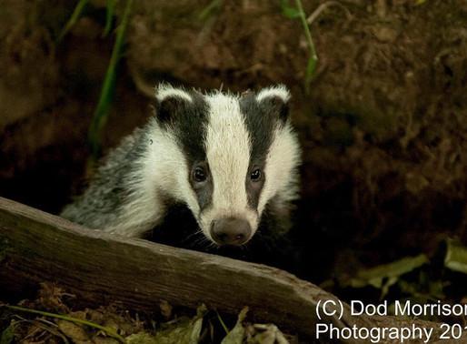 Badger Cull Betrayal