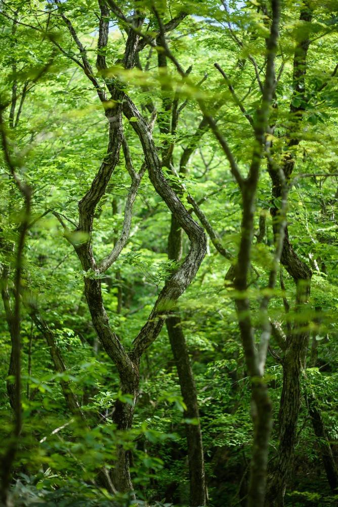 輪のように見える細く曲がりくねったミズナラ / Thin winding Japanese oaks looking like a loop