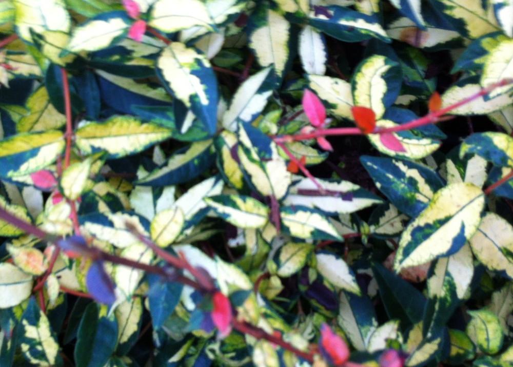 Trachelospermum asiaticum 'Summer Sunset' iPlantsman