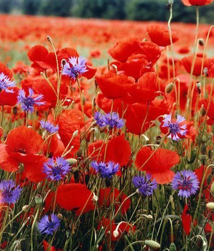 champ de fleurs coquelicots fleuris rouge et violet épanouissement signe d'abondance d'évolution d'éveil pspirituel citation fleurs partout pour tout ceux qui veulent bine les voir, planter une graine et attendre qu'elle germe dasn mon esprit garder en tête la bienveillance l'amour la bonté la beauté de la vie de ma vie