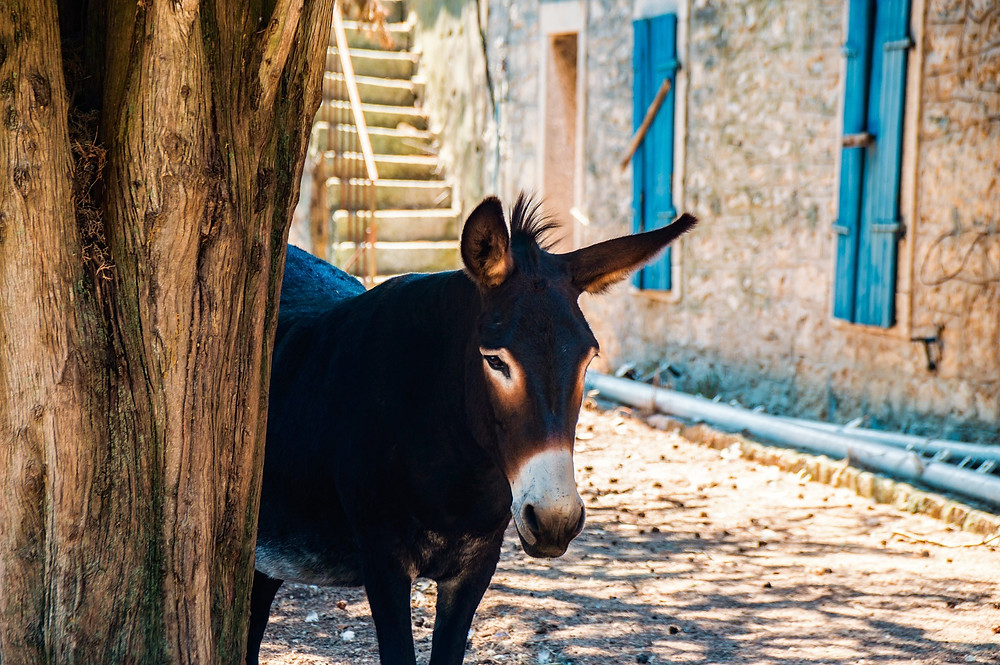 Donkey is a symbol of Dalmatian pride and stubbornness