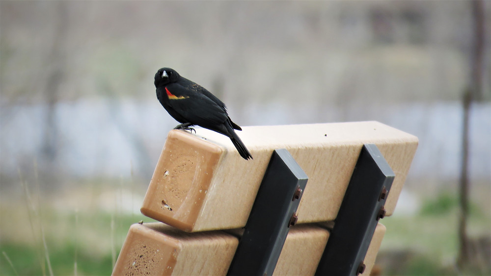 Red-winged Blackbird in Wyoming