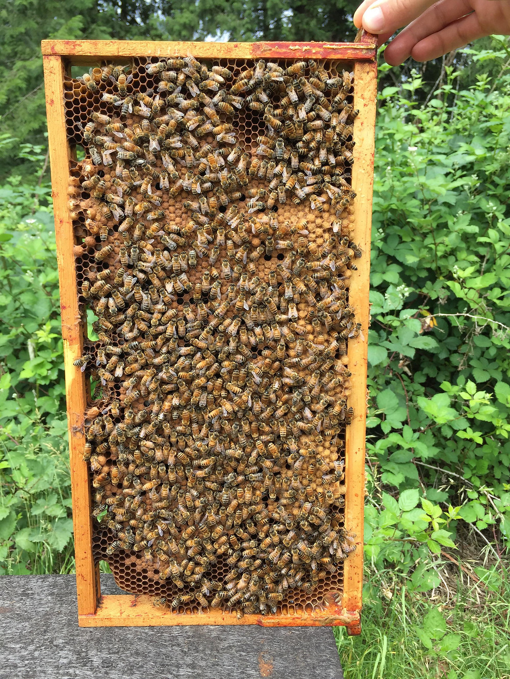 urban beekeeping, honey bees, city bees, hive, honey bee swarm, beekeeping, beekeepter, local honey, honey bee history