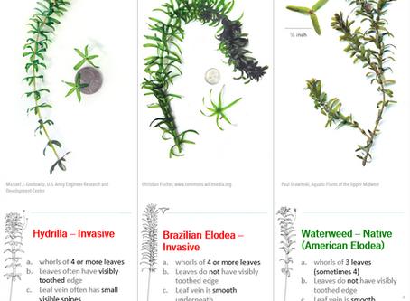 Hydrilla and Brazilian Elodea - Exotics