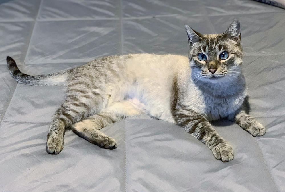 Lyra, gatita rescatada en los huesos, totalmente recuperada y felizmente adoptada en Gaudalajara