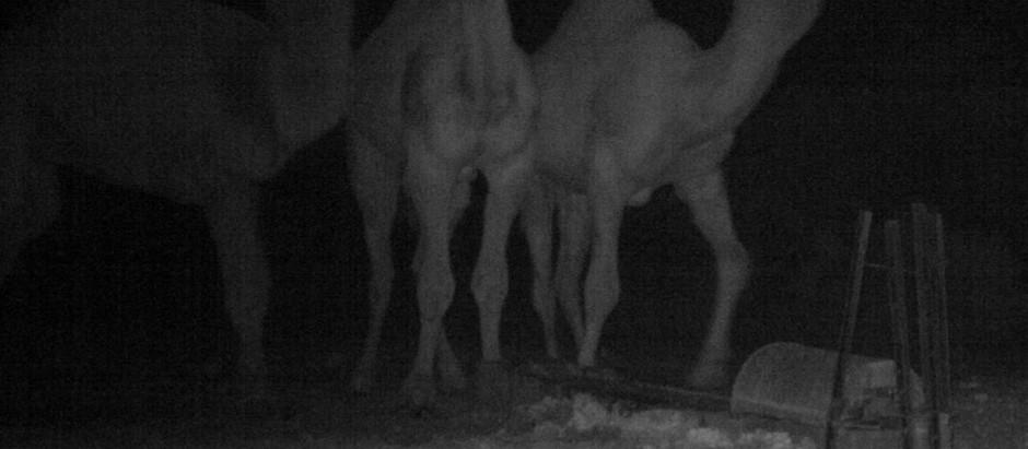 Feral camel control