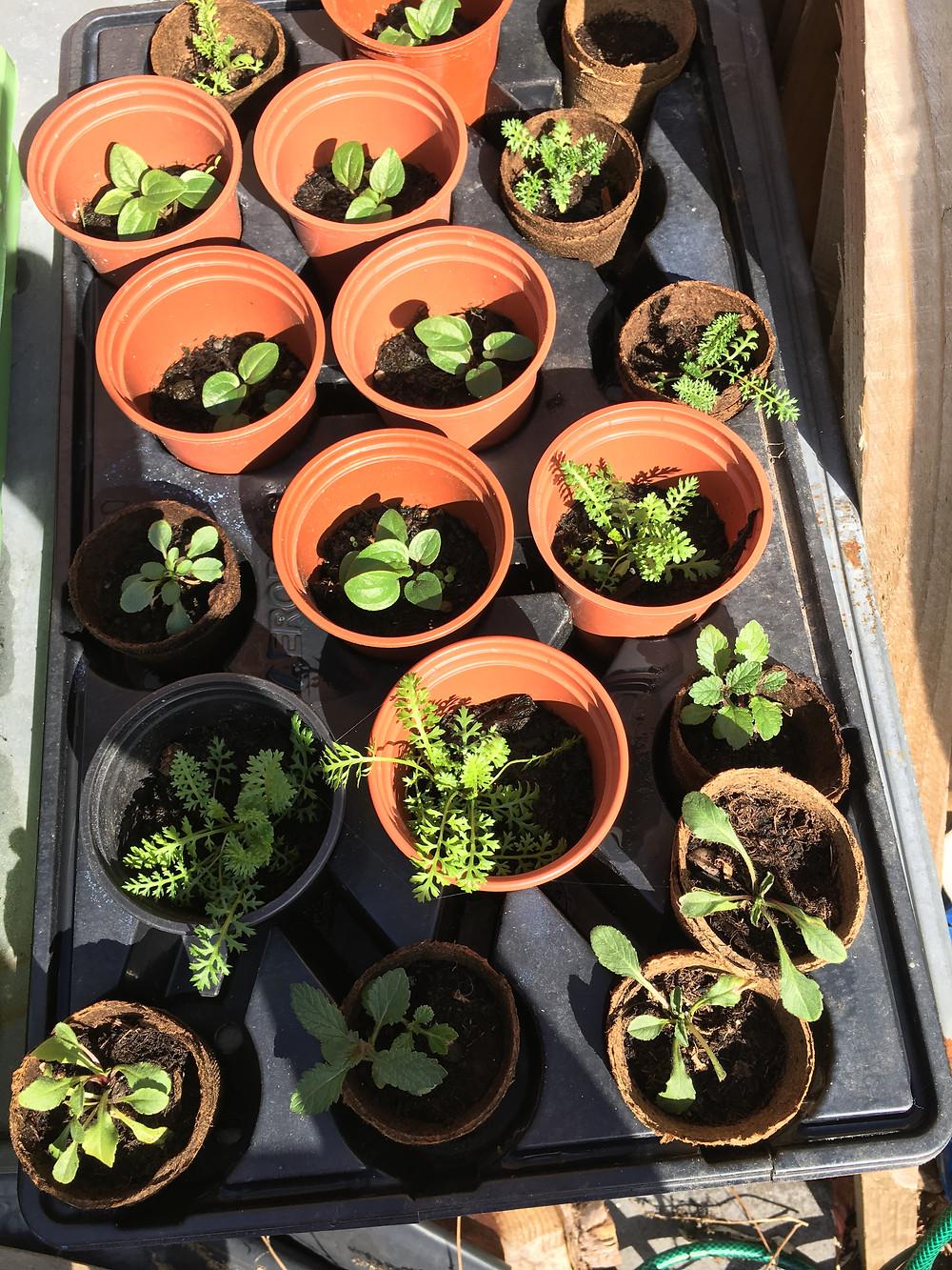 seedlings I am nurturing