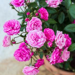 الورد الجوري المقزم