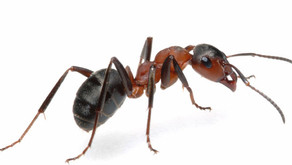 Formigas podem ser mais perigosas e nojentas que as baratas.