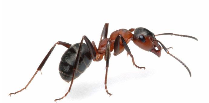 Formigas podem ser mais perigosas e nojentas que as baratas