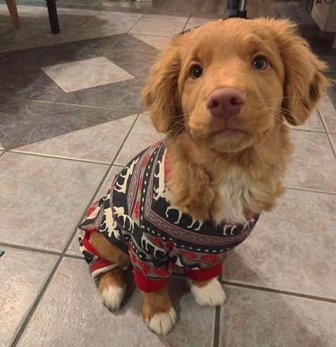 A puppy wearing a sweater