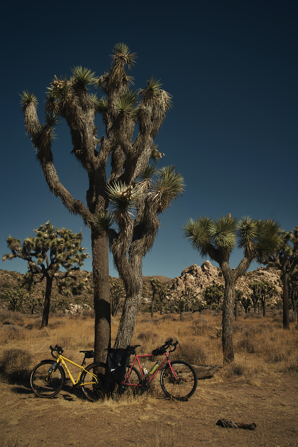 A joshua tree in the desert with bikes at its foot