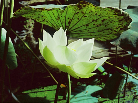Lotus: dons sacrés...