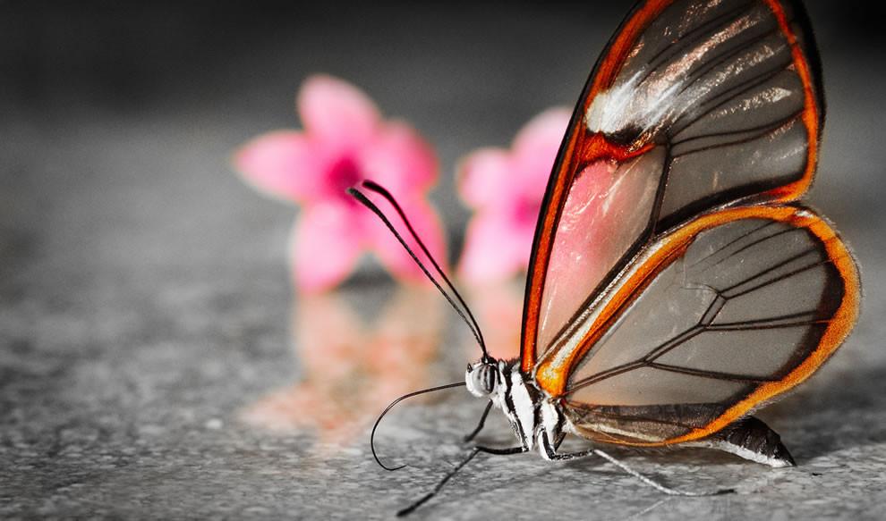 papillon ailes transparentes