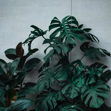 How to Grow and Care Monstera Deliciosa: Care Tip to grow Monstera Success