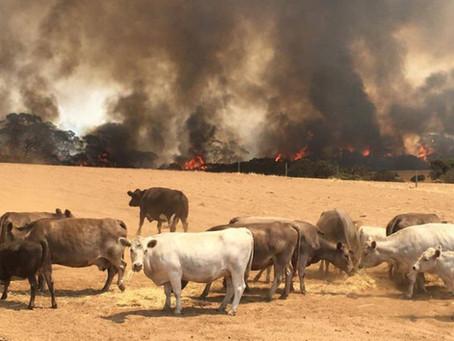 Los incendios en Australia pueden generar cambios en el comercio de carnes