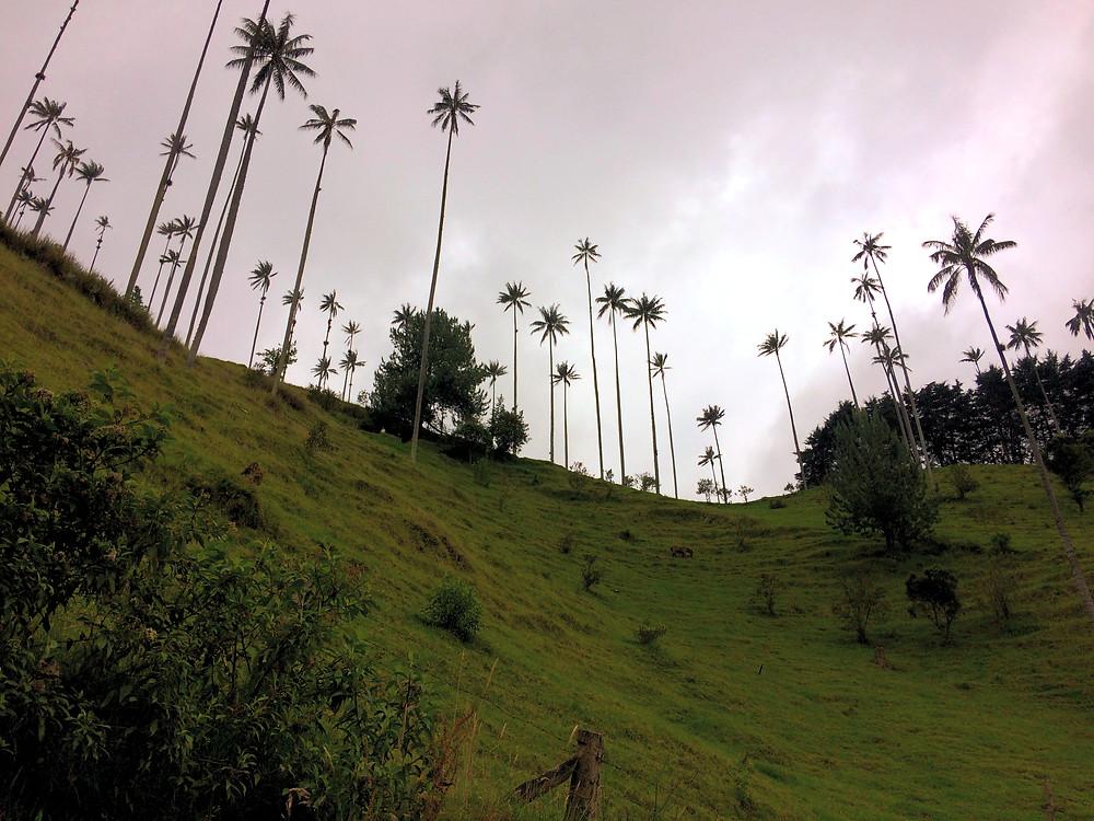 La ''petite'' pente, Vallée de Cocora, Colombie