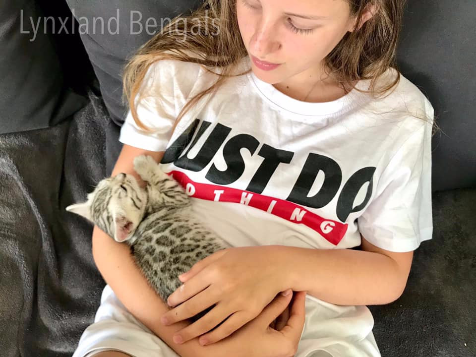 Silver bengal kitten socialization