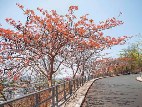 Mùa hoa phượng Vũng Tàu nơi níu chân khách du lịch