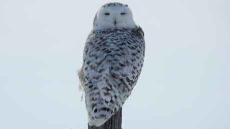 Female Snowy Owl on barbed wire fence post