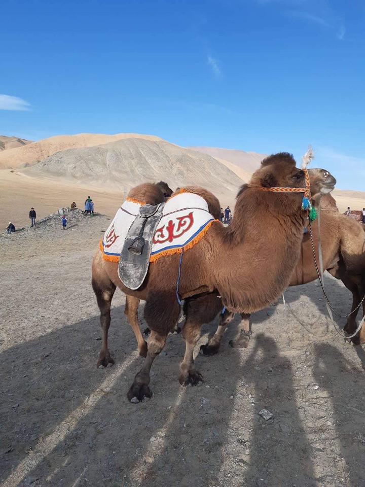 Altai Tavan Bogd camel trial