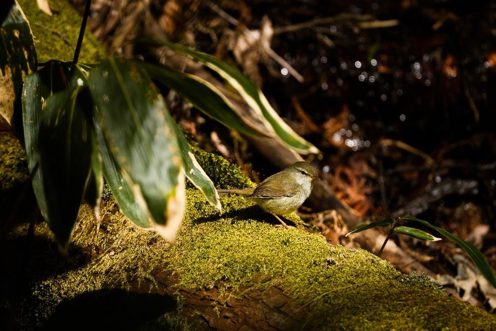 ウグイス / Japanese bush warbler
