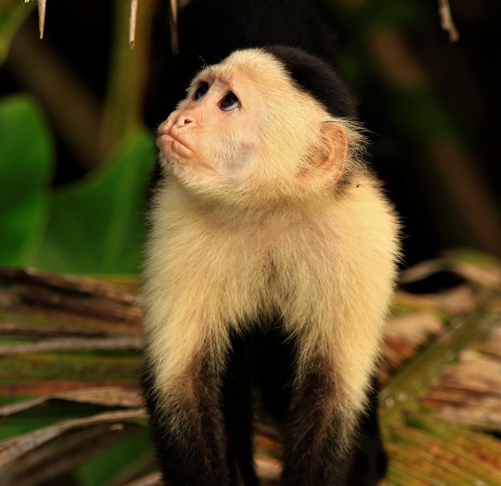 Capuchin Monkey, Gatun Lake Panama