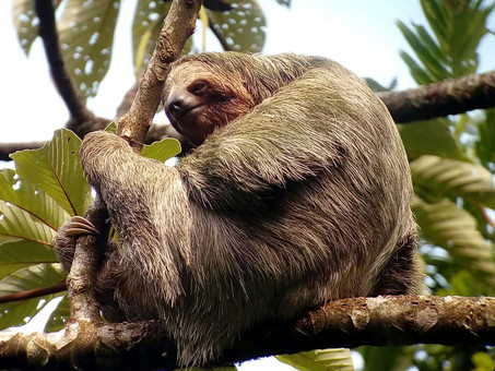 Costa Rica: Can it be that they found a genus of a Giant Sloth?