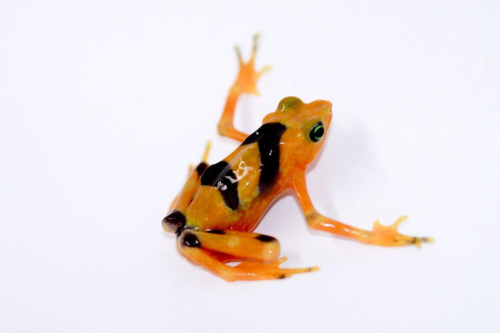 golden frog grenouille jaune pois noirs