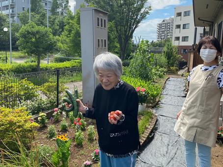 園庭野菜の収穫