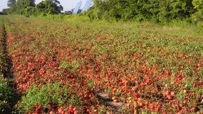 Os tomates do quintal,  os tomates do Seixal