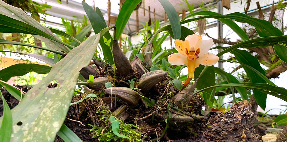 Close up of one of several orchids being cultivated in the orquidário at the Legado das Águas