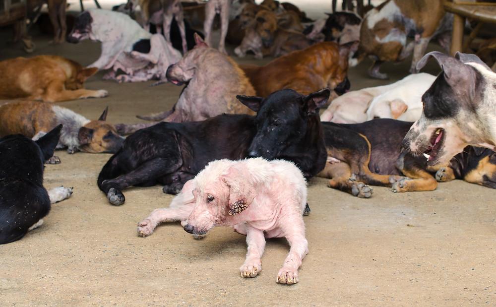 Yulin festival viane chien chat chine débat protection animale