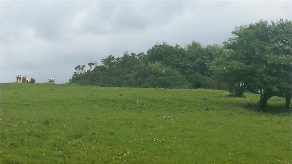 You can see the cattle here peeping over the brow of the hill, before following to make sure we had really left
