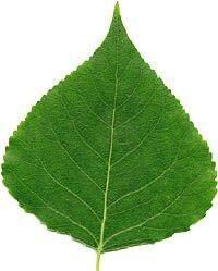 Simple Aspen (poplar or birch) leaf